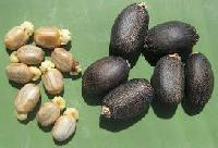 Jatropha Curcas Seeds