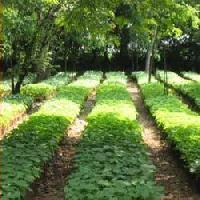 jatropha saplings