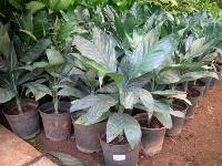 Indoor Foliage Plants - (03)