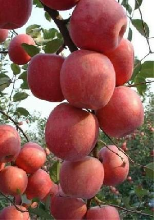 Kashmiri Fresh Apple Fruits