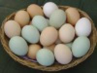 Broiler Chicken Hatching Eggs Cobb/ross,