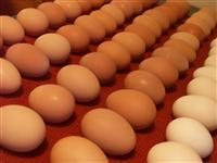 Fresh Chicken Table  Eggs white & Brown