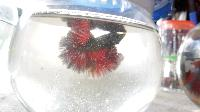 Imported full moon betta fish