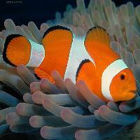 Marine Anemones Fish
