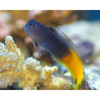 Marine Blenny Fish