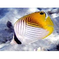 Marine Butterfly Fish