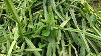 Cissus Quadrangularis (Pirandai) dry