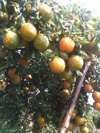 Orange From Manasa-rampura, Mp