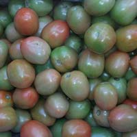 Export quality Green Tomato