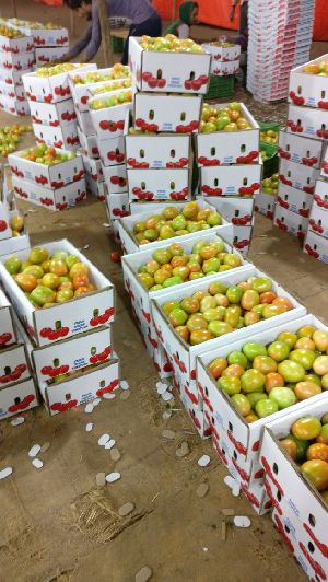 Fresh Export paking Tomato