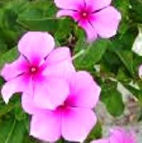 Catharanthus Roseus  Apocynaceae