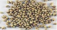 Coriander Seeds (coriandrum Sativum)