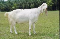 Totapari Goat Breeding