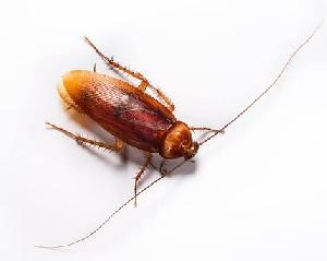 Cockroach Control Treatment Services