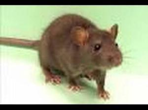 Rat Control Treatment Services