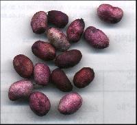 Natural Jamun Seeds