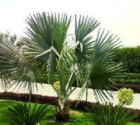 Bismarckia Nobilis Plant