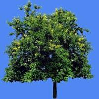 Cassia Siamea Tree