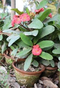 Red Euphorbia Plant