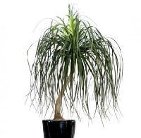 Nolina Recurvata Palm Plant