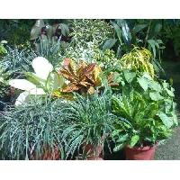 Ornamental Foliage Plant