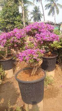 Bougainvillea Bonsai Plant
