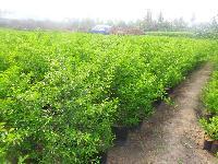 Citrus Lemon Plant