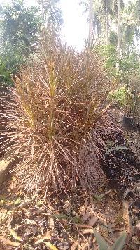 Dracaena Colorama Plant