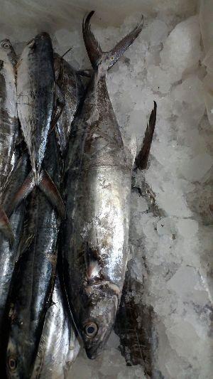 Frozen Atlantic Mackerel Fish