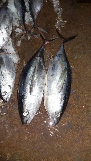Frozen Bigeye Tuna Fish