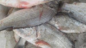 Fresh  White Snapper Fish