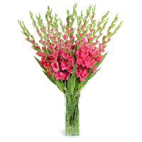 Gladiolus Cut Flowers