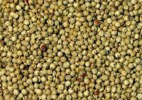 Green Sorghum Seeds