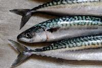 Fresh Mackerel Fish