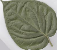 Betel Leaves ( Bangla Paan)