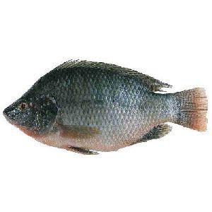 Monesex Tilapia  Fish Seeds
