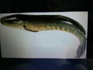 Murrel Fish