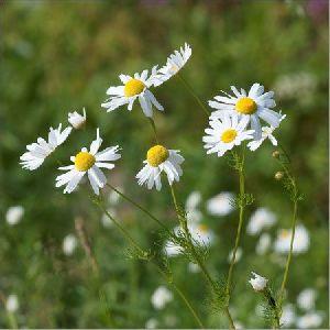 Chamomile Flower Oil