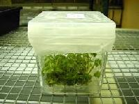 Strawberry Tissue Culture Plants