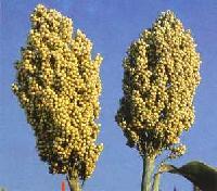 RSHJ 222 Hybrid Jowar Seeds