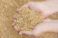 Tanuja 6043 Hybrid Rice Seeds