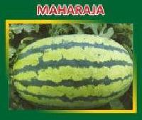 Maharaja Hybrid Watermelon Seeds