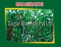 Bhagirathi Hybrid Green Chilli Seeds