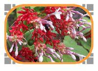 Kumbi Flower