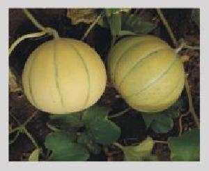 Kanakpuri Muskmelon Seeds
