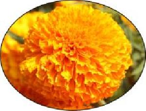 Orange Marigold Seeds