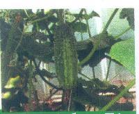S-80 Cucumber Seeds