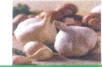 Large Segmented Garlic Seeds