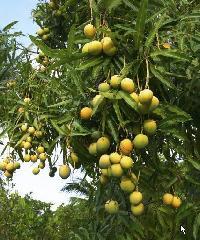 Hapus Mango Tree