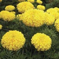 African Marigold F2 Dwarf Yellow Flowers